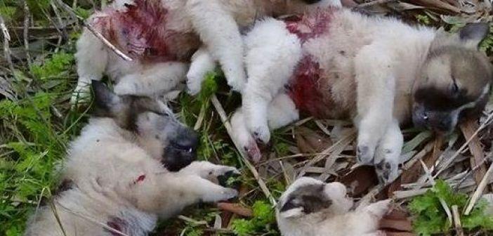 Μεσολόγγι: Στα ίχνη του δολοφόνου των κουταβιών! (ΗΧΗΤΙΚΟ)
