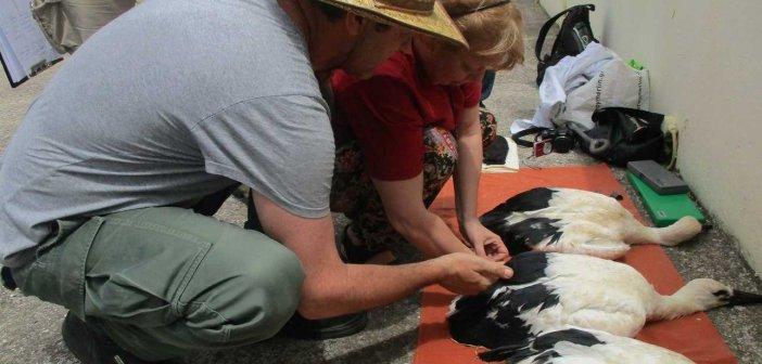 Με επιτυχία η ετήσια δακτυλίωση πελαργών στο Εθνικό Πάρκο Λιμνοθαλασσών Μεσολογγίου – Αιτωλικού