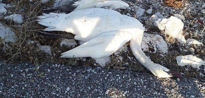 Καλώδια – παγίδα θανάτου για τους Αργυροπελεκάνους στη Λιμνοθάλασσα Μεσολογγίου (ΦΩΤΟ)