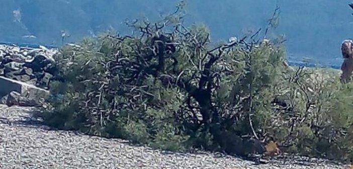 Έσπασε δέντρο στην Χιλιαδού – Άγιο είχαν λουόμενοι (ΦΩΤΟ)