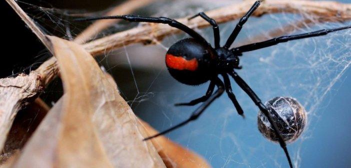 Τι είναι η αράχνη «μαύρη χήρα» που παρολίγο να σκοτώσει 10μηνο βρέφος στην Πάτρα