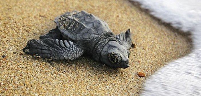 ΑΡΧΕΛΩΝ: Tι πρέπει να προσέχουμε στις παραλίες ωοτοκίας της θαλάσσιας χελώνας
