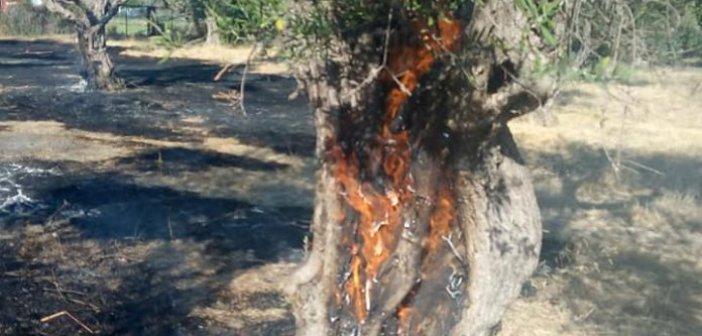 Ξηροπήγαδο: πυρκαγιά σε λιοστάσι-άμεση επέμβαση της Π.Υ. (ΦΩΤΟ+VIDEO)