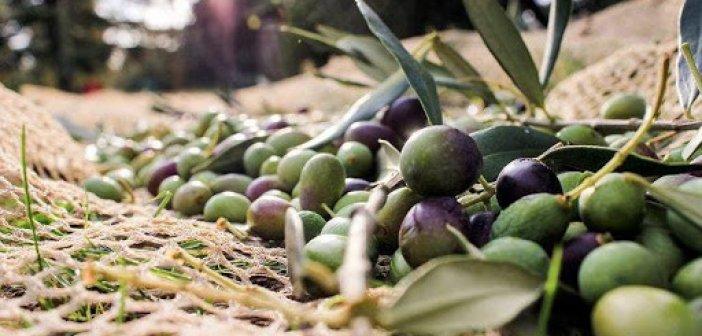 Κάλεσμα ΟΑΣ σε παραγωγούς ελιάς την Κυριακή στο Καινούργιο