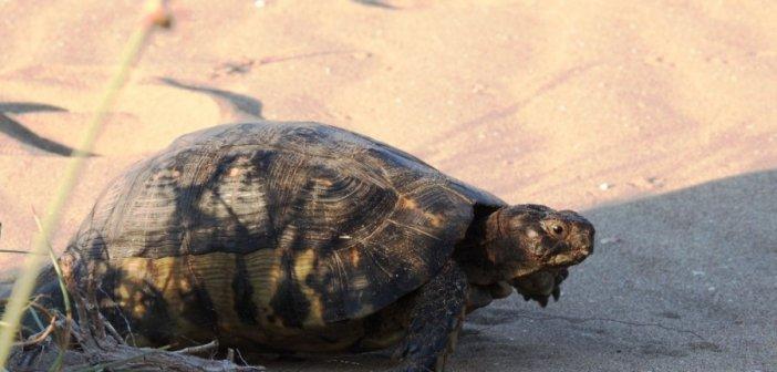 Η φύση δεν μπαίνει σε καραντίνα: Δράση παρακολούθησης της κρασπεδωτής χελώνας από τον Φορέα Διαχείρισης