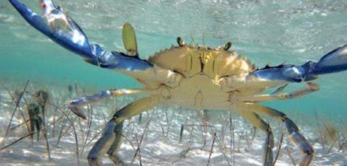 Ναύπακτος: Ανησυχητική αύξηση του μπλε καβουριού στην παραλία Γριμπόβου