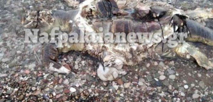 Νεκρή χελώνα καρέτα – καρέτα στο Αντίρριο (ΔΕΙΤΕ ΦΩΤΟ)