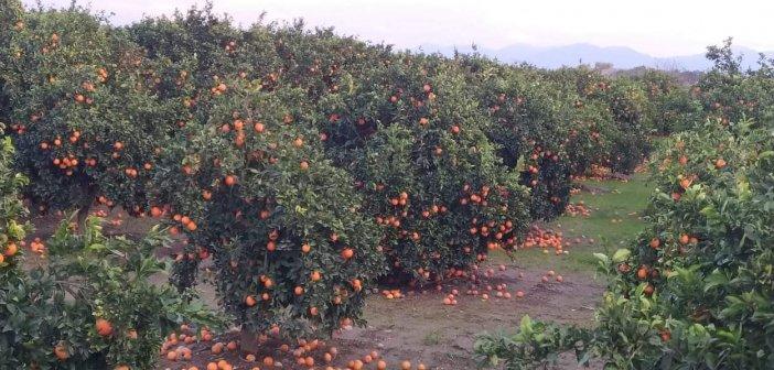 Κραυγή αγωνίας από τους παραγωγούς εσπεριδοειδών και ελιάς στη Δημοτική Ενότητα Στράτου