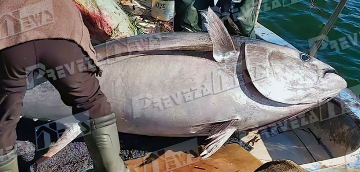 Μεγάλη ψαριά στην Πρέβεζα -Επιασαν τόνο 130 κιλών [εικόνες]