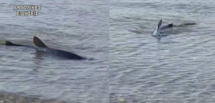 Ναύπλιο: Καρχαρίας σε παραλία (vid)