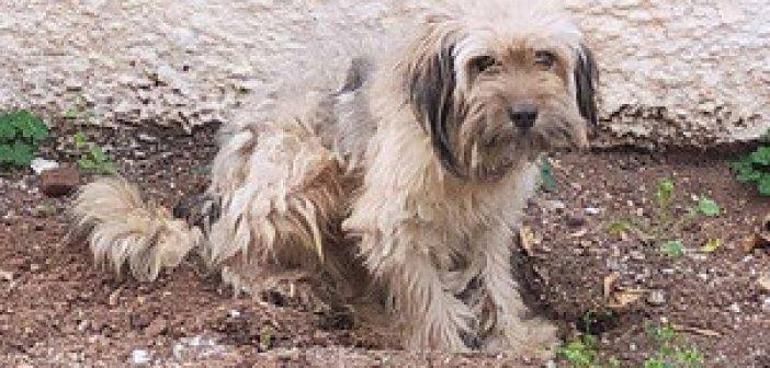 Αγρίνιο: Χάθηκε σκύλος στην περιοχή Αγίου Ιωάννου Ρηγανά