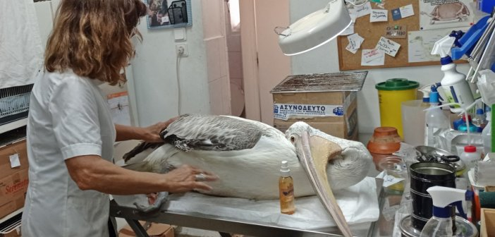 ΑΝΙΜΑ: Αργυροπελεκάνος από το Μεσολόγγι με συμπτώματα πιθανής δηλητηρίασης