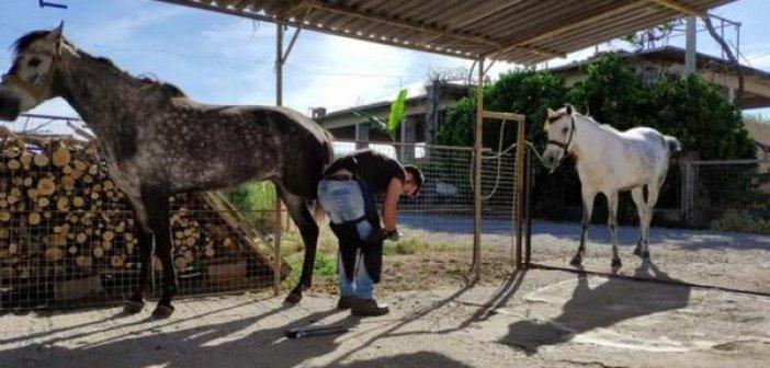 Καλύβια: Το παραδοσιακό πετάλωμα αλόγου (φωτο)
