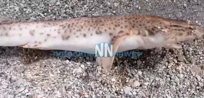 Αντίρριο: Ένα μικρό καρχαριοειδές ξέβρασε η θάλασσα (εικόνες – video)