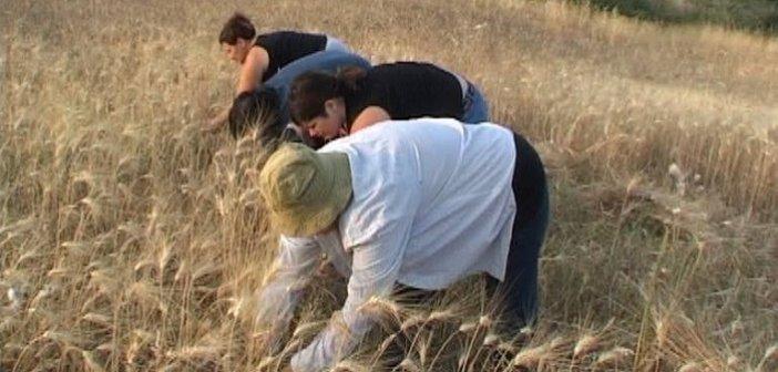 Ο θερισμός και το αλώνισμα στην Τριχωνίδα (εικόνες & βίντεο)