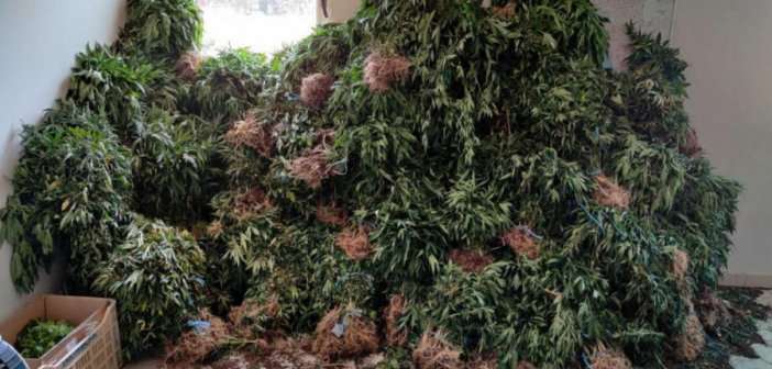 Εντοπίστηκε μεγάλη φυτεία κάνναβης με 4.325 δενδρύλλια και φυτά στην Ανδρίτσαινα
