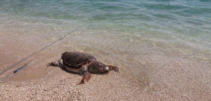 Μύτικας: Nεκρή θαλάσσια χελώνα στη παραλία της Παλιόβαρκας (ΦΩΤΟ)
