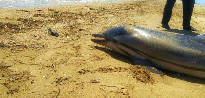 Νεκρό δελφίνι ξέβρασε η θάλασσα στο Αντίρριο (ΔΕΙΤΕ VIDEO)